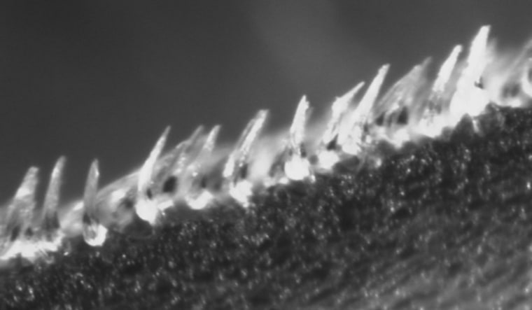 These shortfin mako shark scales come from a sample on the side of the shark. The scales in the foreground have been manually bristled and measure approximately 0.2 mm in length.